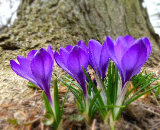 From Old House Gardens, a chipmunk proof species of crocus (Tommies).