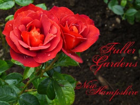 brown rose copy
