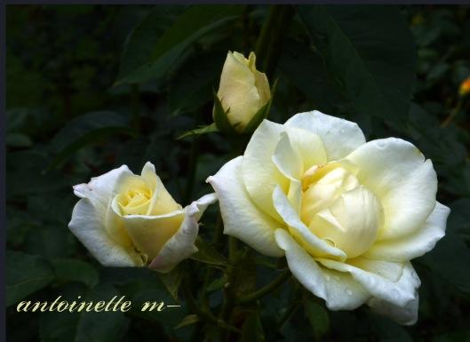 Cream Rose copy