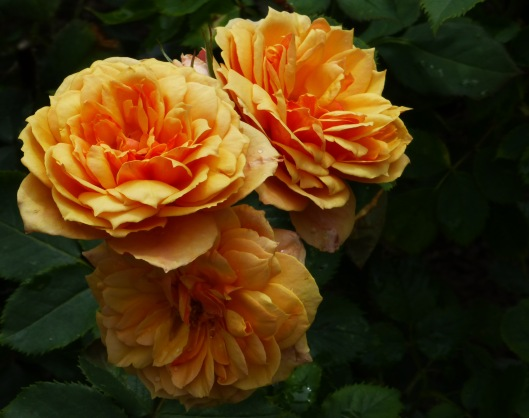 gold roses