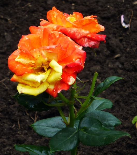 orange yellow rose