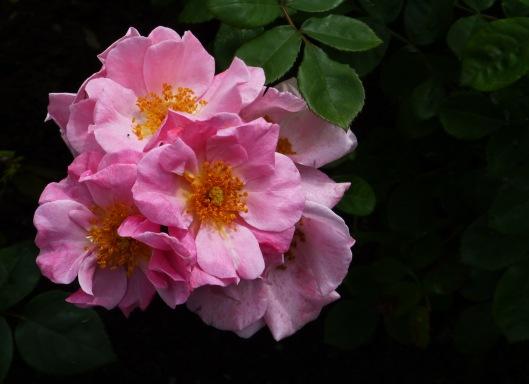 pink simple roses