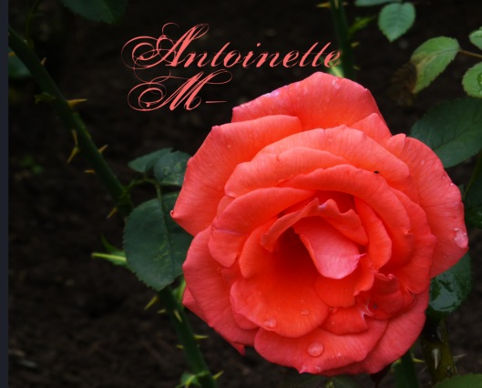 salmon rose copy